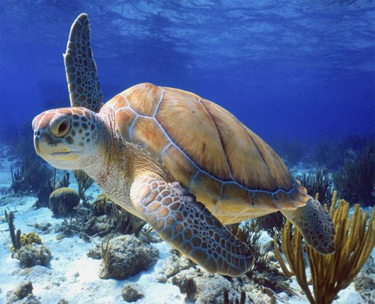 Turtle in under water